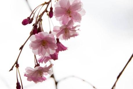 CherryBlossomSpring14.1